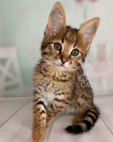 Мальчик Саванна Ф1 - Доминик, эксклюзивный котенок Ашера из легенд