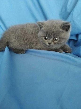 Продам котят британских короткошерстных