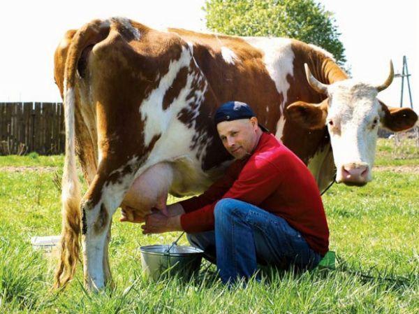 Продам телят Айрширской молочной породы