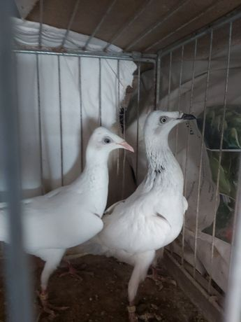 Gołębie ozdobne perłowe