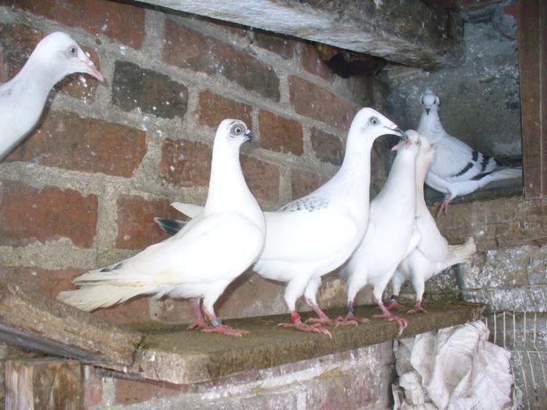 gołębie ozdobne szeki