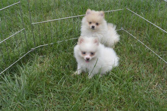 Pomeraniany suczki