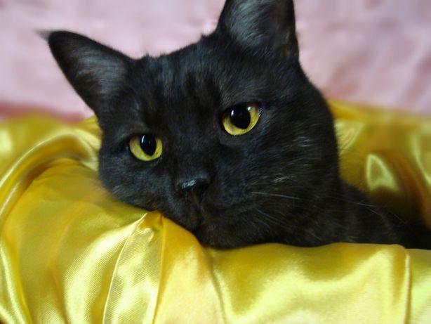 Добрая кошка Дымка - окрас черный дым, молодая, стерилизована