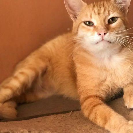 Отдам рыжего кота, 2 года, кастрирован