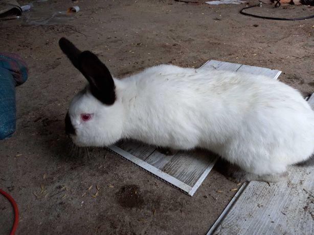 Sprzedam króliki 3 samce rasowe