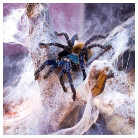Пауки птицееды Скорпионы террариумы Корм для новичков с Доставкой