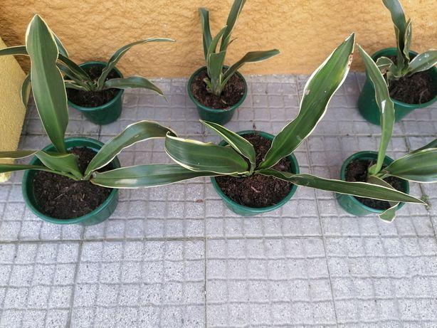 Folhas Raiadas em vasos