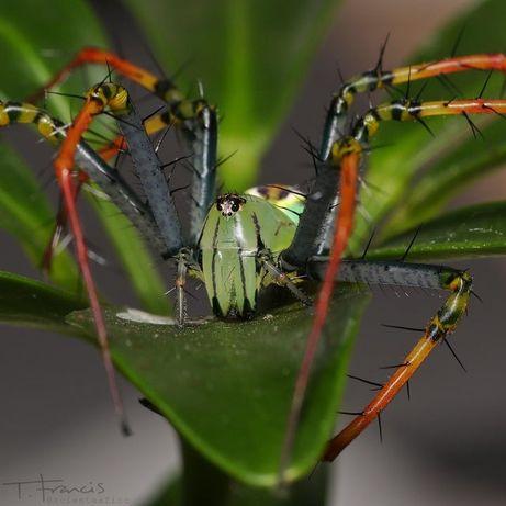 pająki peucetia lucasi