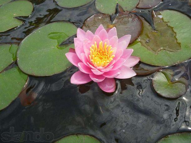 Продам сортовые нимфеи (нимфея, водяные лилии, кувшинки)