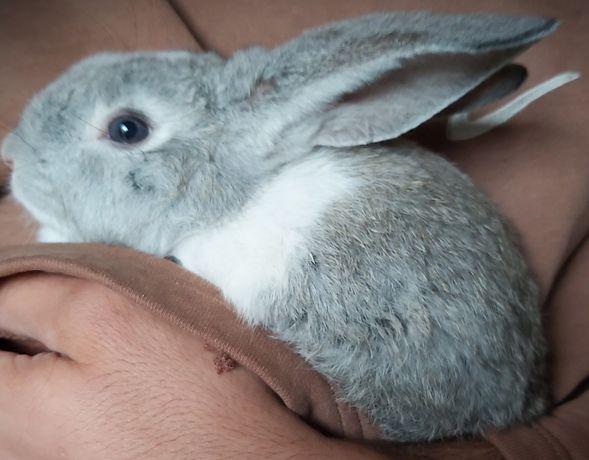 Vendo coelho macho