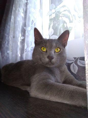 Русская голубая котенок мальчик чистопородный бесплатно