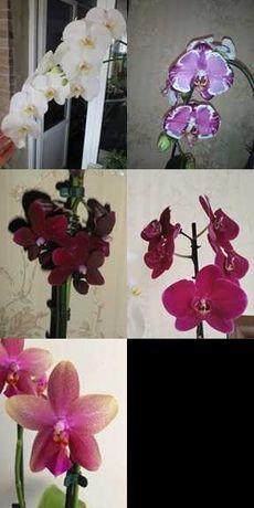 Сортовые орхидеи Распродажа!