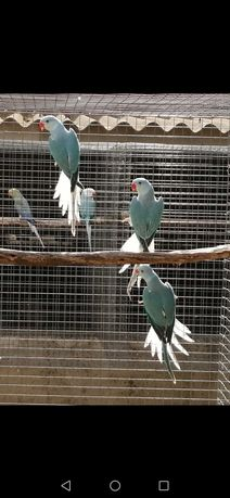 Ring necks cleartail