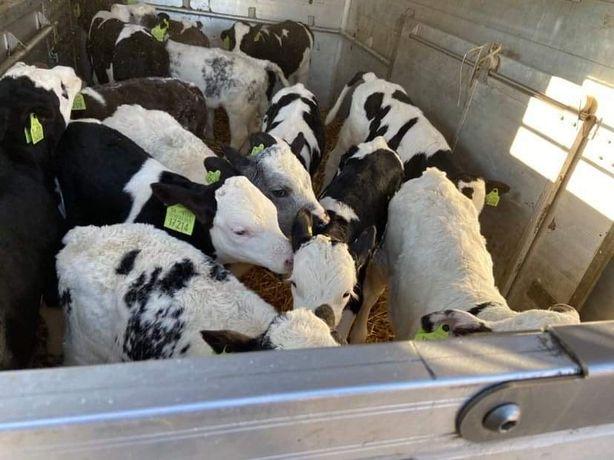 Sprzedam  byczki cielęta mięsne !