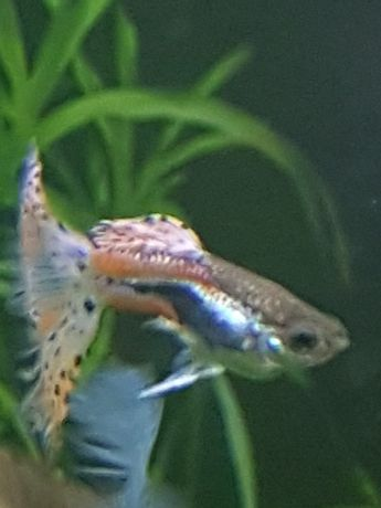 Peixes Guppys  Emerald