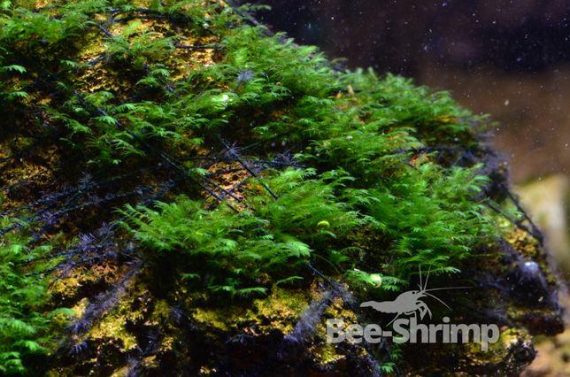 Fissidens Splachnobryoides ORYGINAŁ RARYTAS