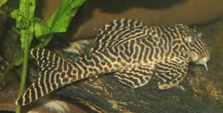 GB Hypancistrus sp. Zbrojnik L 66 ryba krajowa