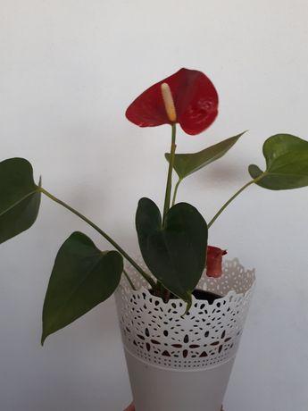 Anturium kwiat doniczkowy
