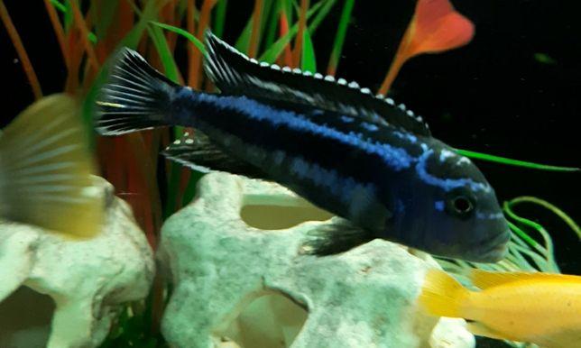 Рыбки.Малавийские цихлиды. Аквариумные рыбки. Продам цихлид.