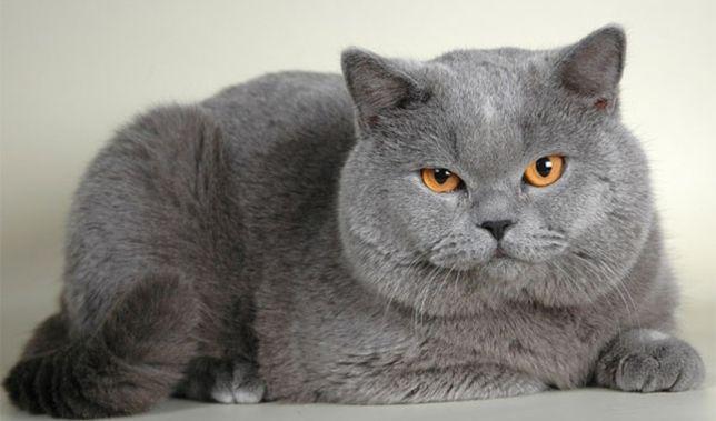 Розкошный Голубой Шотландский кот приглашает на вязку