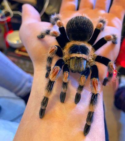 Самка паука птицееда и набор для содержания Brachypelma hamorii