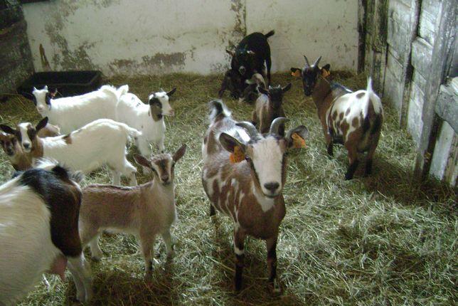 Kozy miniaturowe , bardzo małe.