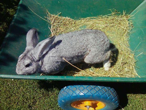 Продам кролей, кроликов, крольчат.