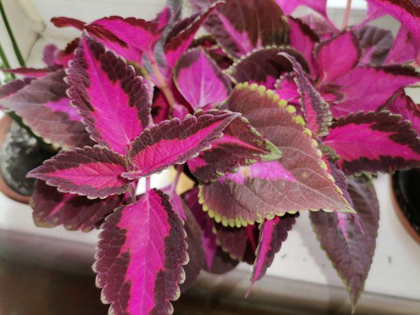 Piękny Koleus roślina ozdobna, kwiat doniczkowym