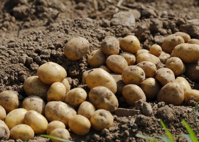 Ziemniaki na zimę z DOWOZEM odmiany Gala Vineta worki 15kg