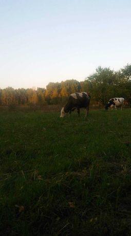 Sprzedam 3 krowy mleczne