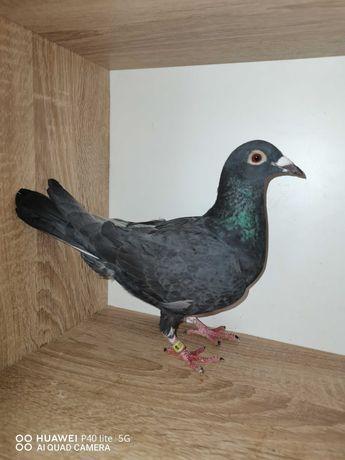 Sprzedam gołębie pocztowe samice