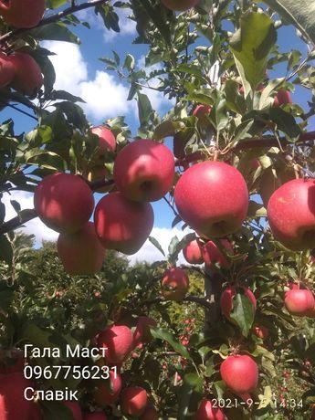 Продам яблука 2021