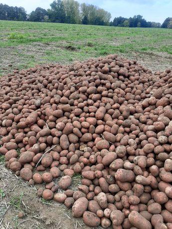 Ziemniaki jadalne Denar Red Sonia