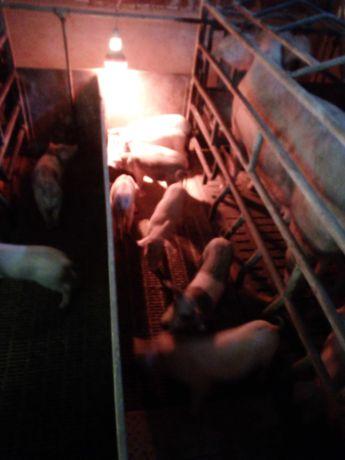 Vendo porcas e leitoes