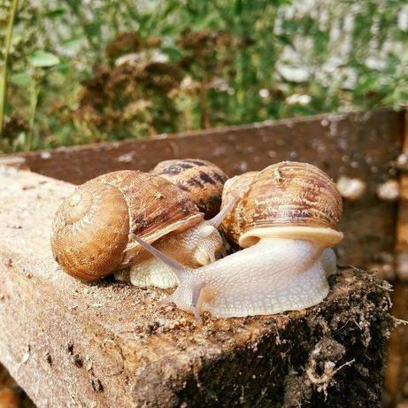 Hodowla ślimaków Aspersa Muller- reproduktory, oseski, kokony
