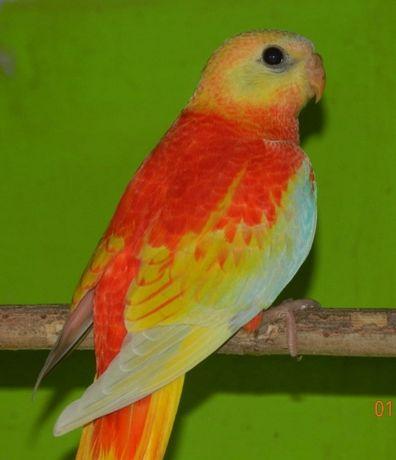 НОВИНКА Малыши певчего попугая . Ручные. Яркие. Разного окраса.
