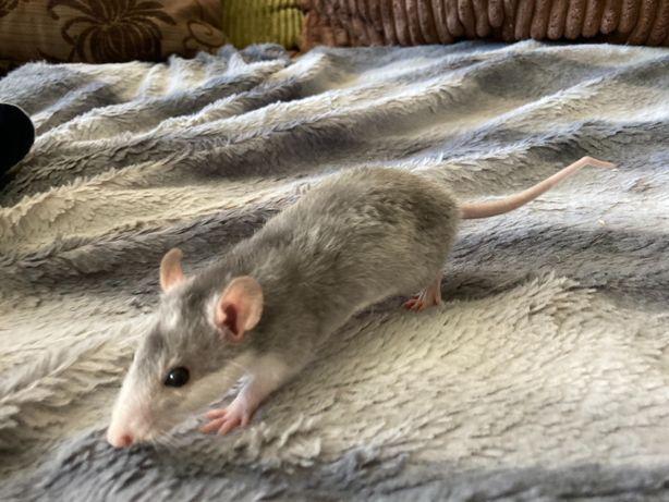 Małe szczurki do oddania