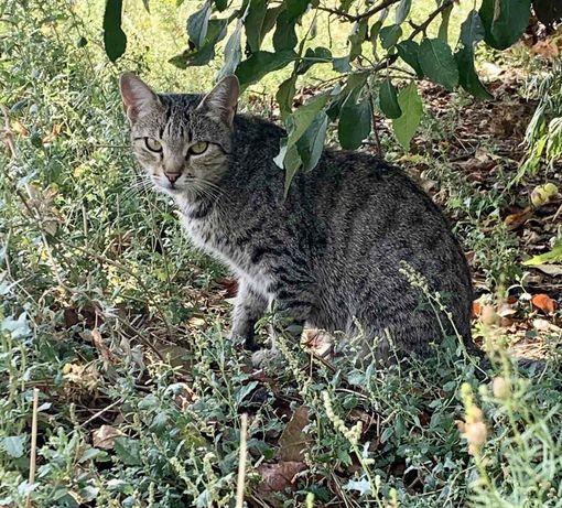 Отдам кошку лесного окраса, 1 год, стерилизована, привита
