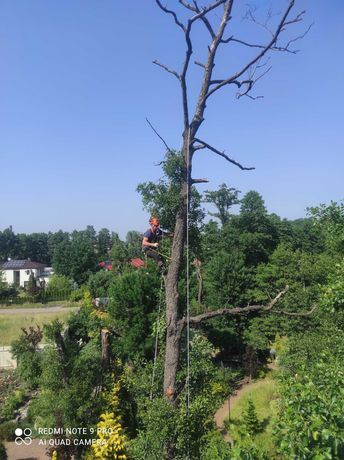 Wycinka drzew, pielęgnacja drzew , usuwanie suszu- metodą linową