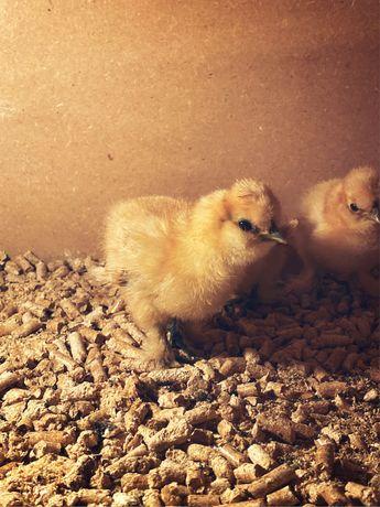 Kurczaki pisklaki Silka/Silki USA