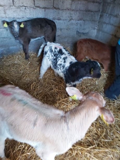 Mięsne cielaki byczki i jałoszki