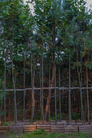 Lipa drobnolistna (Tilia Cordata), miododajna, 8-10cm, 3-5m, z gruntu