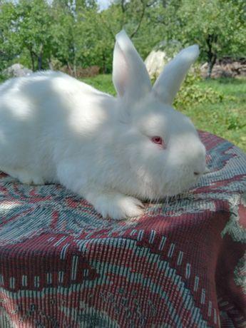 Кролик породи новозеландська біла,самець