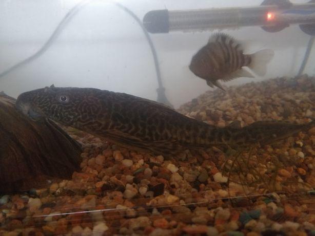 Glonojady do dużego akwarium