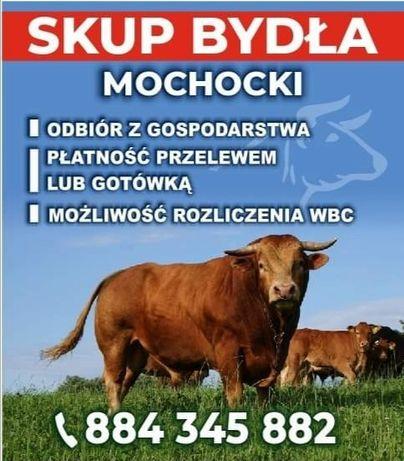 Skup Bydla Byki krowy jalowki