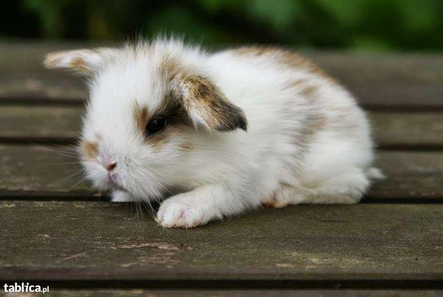 królik baranek miniaturowy, króliki baranki