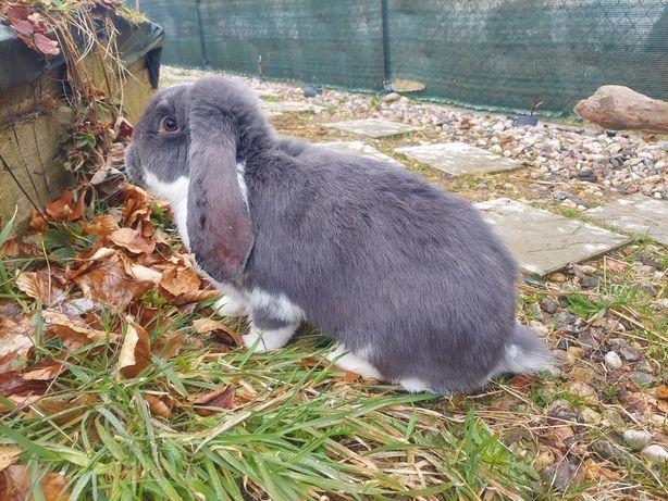 Baran Francuski Niebieski BFNSr rodowodowy króliki
