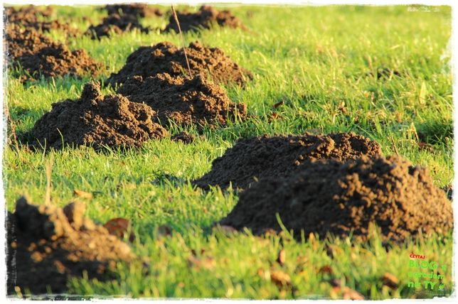 Koszenie Wertykulacja i wertykulator trawnika krety nornice gazowanie