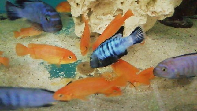 Pyszczak Pseudotropheus saulosi coral Toruń