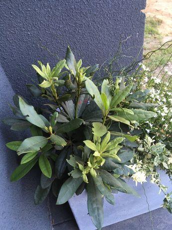 Rododendron biały zamienię